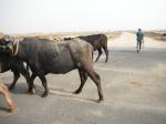 Herding, India (2012)